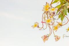 Plumeria или цветок frangipani, тропический цветок Стоковые Фото