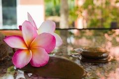 Plumeria или frangipani украшенные на утесе воды и камешка в стиле Дзэн Стоковые Изображения