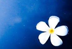 Plumeria или frangipani Стоковые Изображения RF