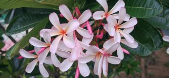 Plumeria на дереве plumeria сток-видео