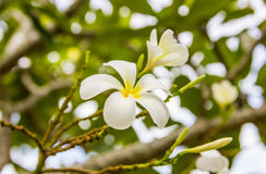 Plumeria на запачканном зеленом цвете Стоковые Изображения