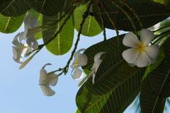 Plumeria на предпосылке голубого неба Стоковые Фото