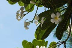 Plumeria на предпосылке голубого неба Стоковое Изображение