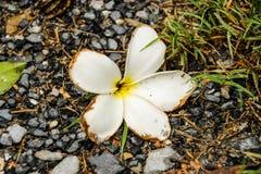 Plumeria на скалистой земле Стоковое Изображение