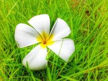 Plumeria на траве Стоковое фото RF