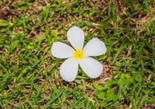 Plumeria на траве Стоковые Фотографии RF