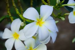 Plumeria постоянное цветковое растение в роде Plumeria, там несколько видов Некоторые убеждены что деревья Frangipani Стоковые Фотографии RF