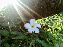 Plumeria под деревом Стоковые Фото