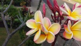 Plumeria радуги Стоковые Изображения RF