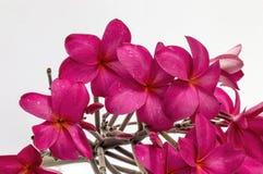 Plumeria цветет белый розовый цвет Стоковое Изображение RF