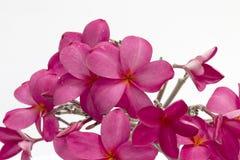 Plumeria цветет белый розовый цвет Стоковое Фото