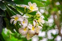 Plumeria цветет на дереве с предпосылкой bokeh Стоковое Изображение RF