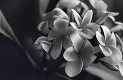 Plumeria черно-белый стоковая фотография rf