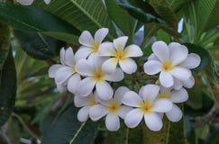 Plumeria Стоковая Фотография RF