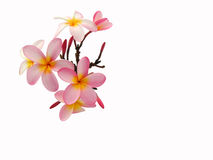 Plumeria. Cluster of pink plumeria flowers.  Isolated against a white background Stock Photography