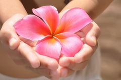 Plumeria. Beautiful girl hands holding flower Royalty Free Stock Image