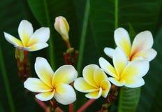 Plumeria. Alba flowers on darhbackground Royalty Free Stock Photography
