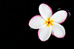 Plumeria. In water, black background Stock Photo