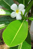 plumeria цветка Стоковые Изображения RF