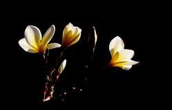 Plumeria. On Black background Background.Petal are Yellow and White Stock Photos