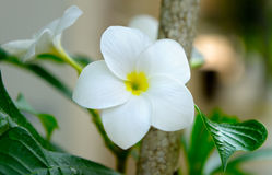 Plumeria Royalty Free Stock Image
