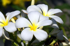 Plumeria. Group of white Plumeria flowers Stock Image