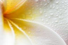 Plumeria Στοκ εικόνες με δικαίωμα ελεύθερης χρήσης