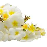 Plumeria Στοκ εικόνα με δικαίωμα ελεύθερης χρήσης