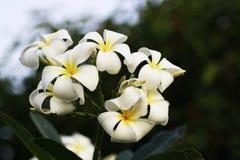 Plumeria Stock Fotografie