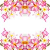 Plumeria Στοκ φωτογραφία με δικαίωμα ελεύθερης χρήσης