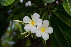 Plumeria images stock