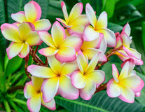 Λουλούδια Plumeria Στοκ εικόνα με δικαίωμα ελεύθερης χρήσης