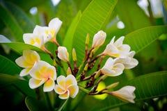 Plumeria Стоковое Изображение RF