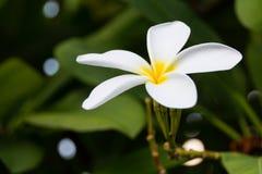 Plumeria Royalty-vrije Stock Afbeeldingen