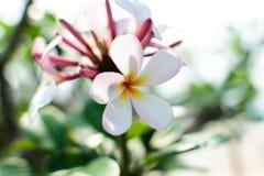 Plumeria Lizenzfreies Stockfoto