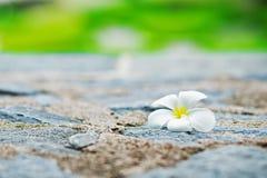 Plumeria Fotografering för Bildbyråer