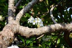 Plumeria Royalty-vrije Stock Fotografie