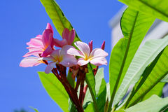 Plumeria Foto de Stock Royalty Free