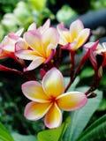 Plumeria Στοκ Φωτογραφία