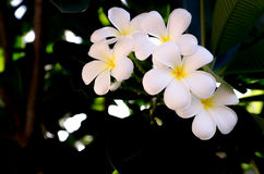 Plumeria Photo stock