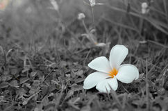 Plumeria Photographie stock