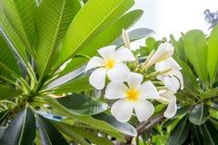 Plumeria image stock