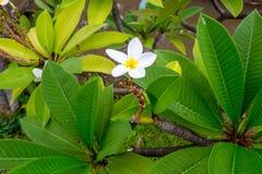 Plumeria Royaltyfri Foto