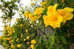 Plumeria Photo libre de droits