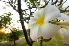 Plumeria Image libre de droits
