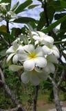 Plumeria Royalty-vrije Stock Afbeelding
