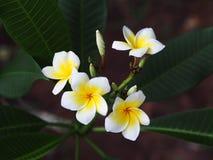 Plumeria Στοκ Εικόνα