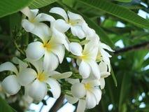 Plumeria Royalty-vrije Stock Foto