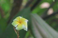Plumeria Lizenzfreies Stockbild