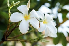 Plumeria Photo stock